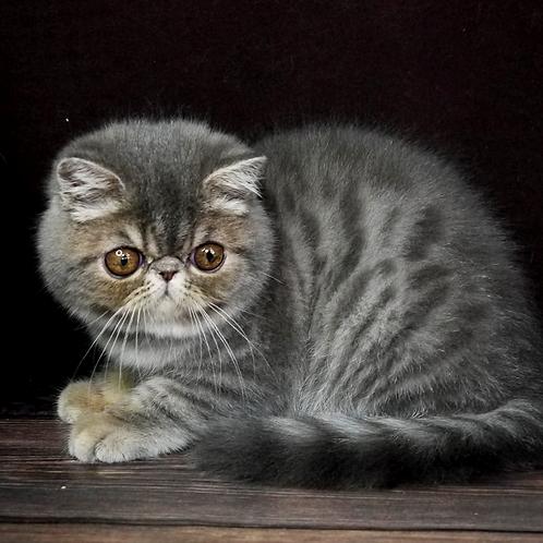 259 Matroskin  Exotic  male kitten