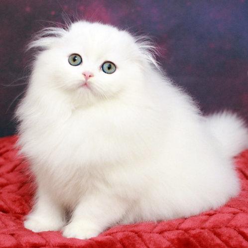 614 Rocco Scottish fold longhair male kitten