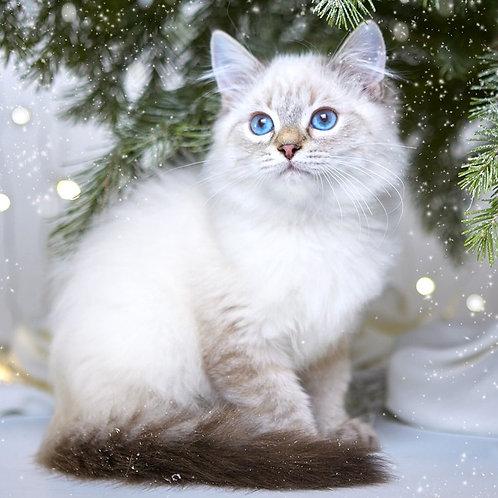 862 Uspech  Siberian male kitten