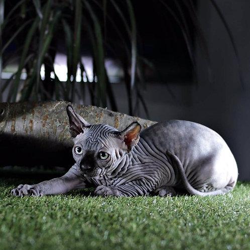 412 Black Mamba female Elf kitten