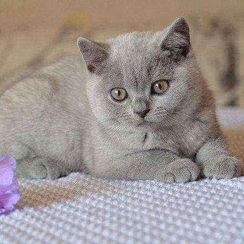884 Zasmin  British shorthair female kitten