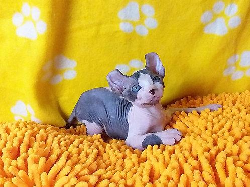 328 Joysti male Elf kitten