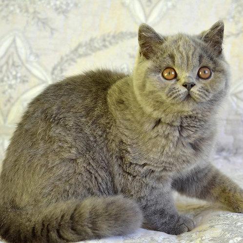 120 Franklin  British shorthair male kitten