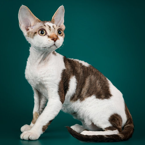 460 Elton male kitten Devon Rex