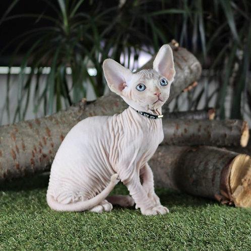 372 Lastic male Sphinx kitten