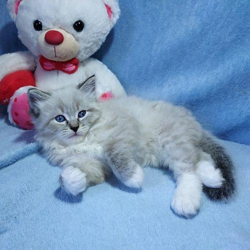 Matthew Siberian male kitten