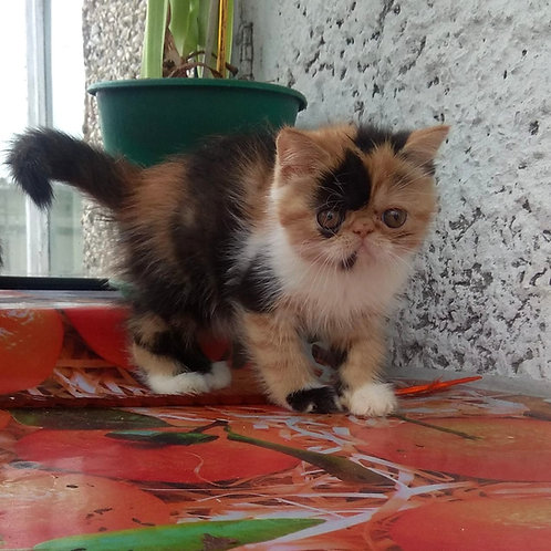 Barbara Exotic shorthair female kitten