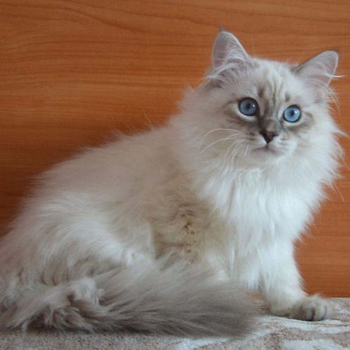 Jazz Siberian male kitten