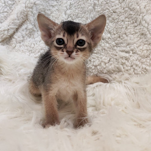 Suzy purebred Abyssinian female kitten