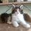 Thumbnail: 427 Jeannette  Maine Coon female kitten
