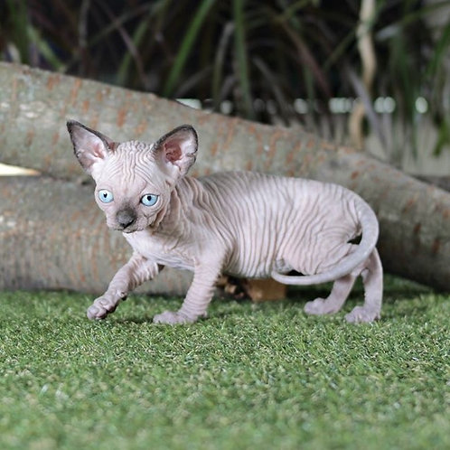Loli female Sphinx kitten