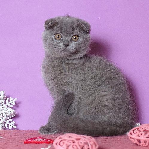 Xara Scottish fold shorthair female kitten