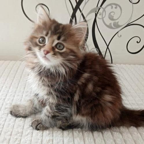203 Vesna    Siberian female kitten