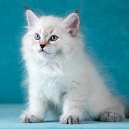 169 Gregory     Siberian male kitten
