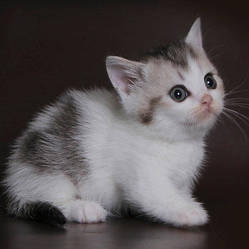 349 Montgomery  Munchkin female kitten