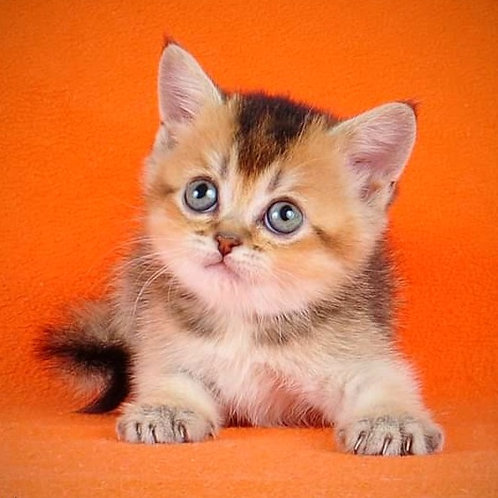 1039 Nancy Scottish straight shorthair female kitten