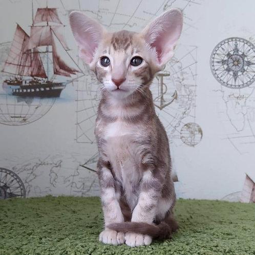 381 Vanessa   Oriental female kitten