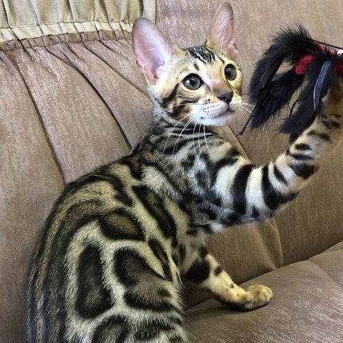 180 Ponka purebred Bengal female kitten