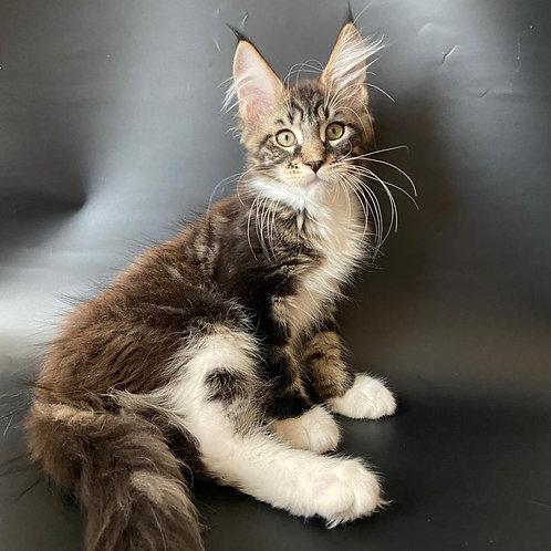 231 Bogdan    Maine Coon male kitten