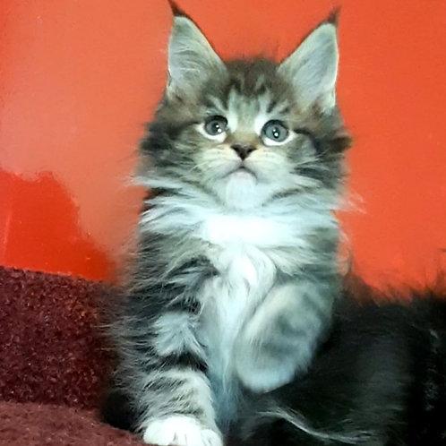 Nala Maine Coon female kitten
