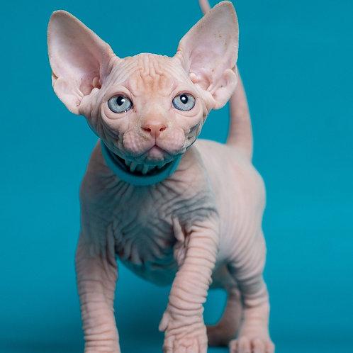Kenzo male Sphinx kitten