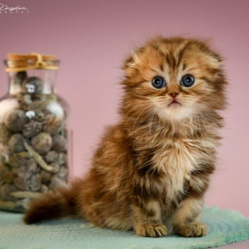James Scottish fold longhair male kitten