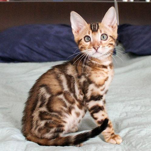 59 Loki  purebred Bengal male kitten
