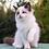 Thumbnail: 280 Elesey  Ragdoll male kitten
