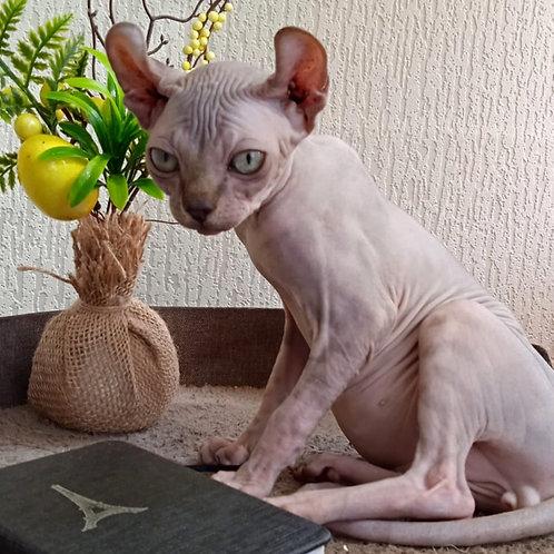 602 Nigel  male Elf   kitten
