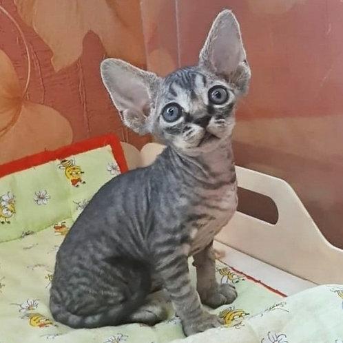 336 Keiko De    male kitten Devon Rex