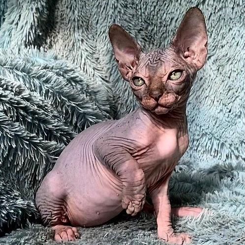 681 Viscount  male Sphynx   kitten