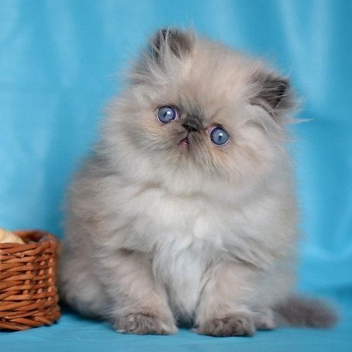 56 Peter   Persian  male kitten