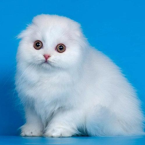 625 Lilly   Scottish fold longhair female kitten