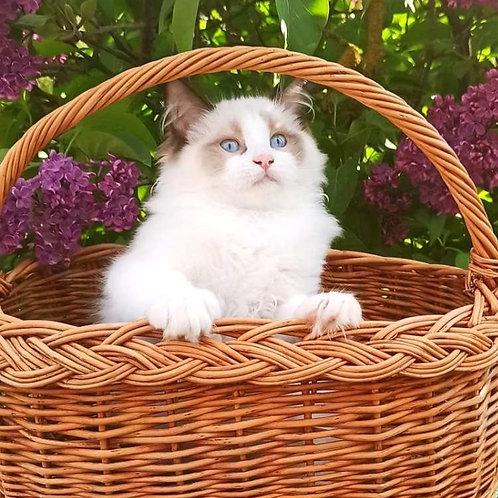 175 Cleo  purebred Ragdoll male kitten