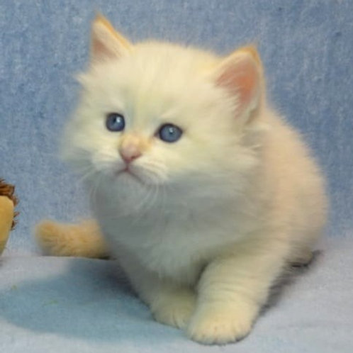 735 Xenon Siberian male kitten