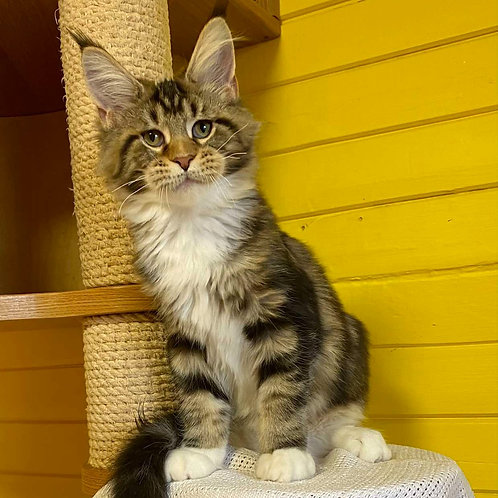 493 Outlet Maine Coon male kitten