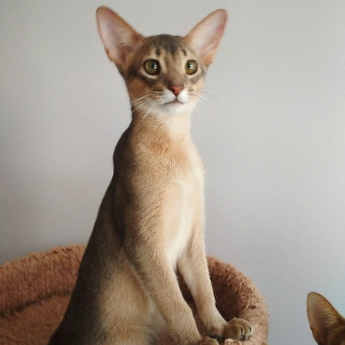 126 Antonius   purebred Abyssinian male kitten