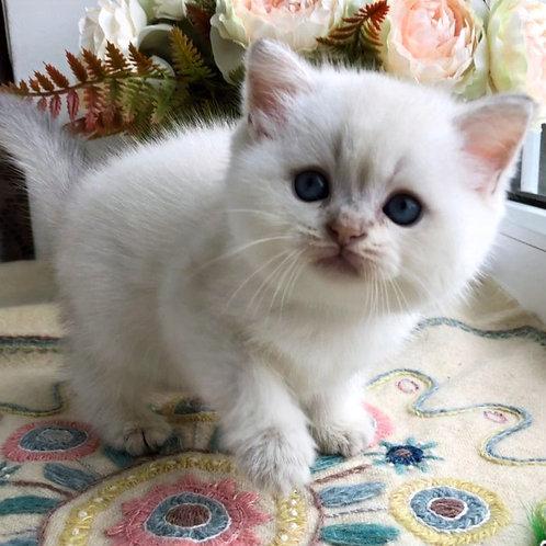 514 Winter  Scottish straight shorthair female kitten