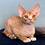 Thumbnail: 623 Ironman  male kitten Devon Rex