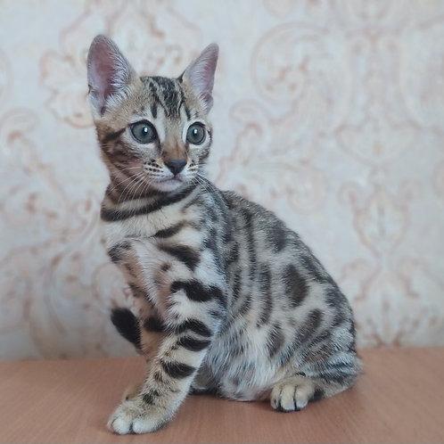 128 Simona purebred Bengal female kitten
