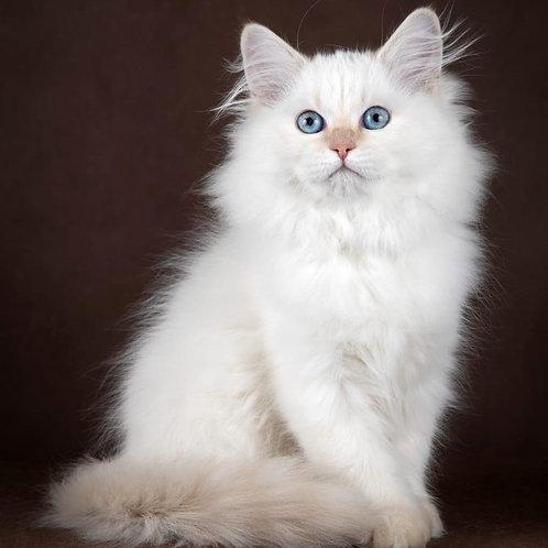 188 Barbi    Siberian female kitten