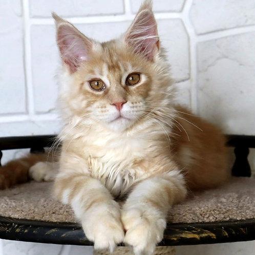 774 Eyktan Largo  Maine Coon male kitten