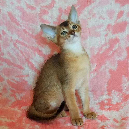 180 Dimon   purebred Abyssinian male kitten