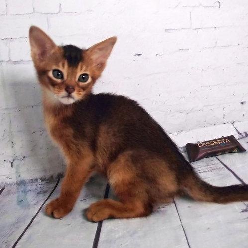 2 Junior   purebred Abyssinian male kitten