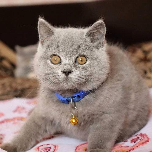 1129 Damir  British shorthair male kitten