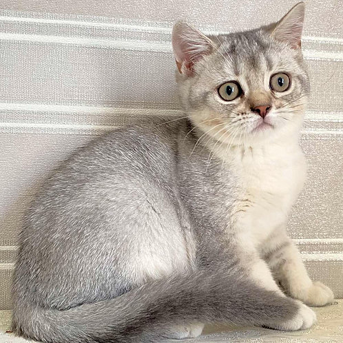 852 Buna   Scottish straight shorthair female kitten