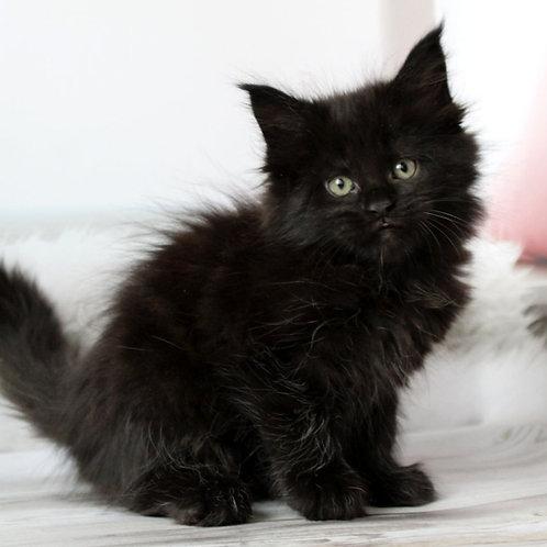 23 Mabel Maine Coon female kitten