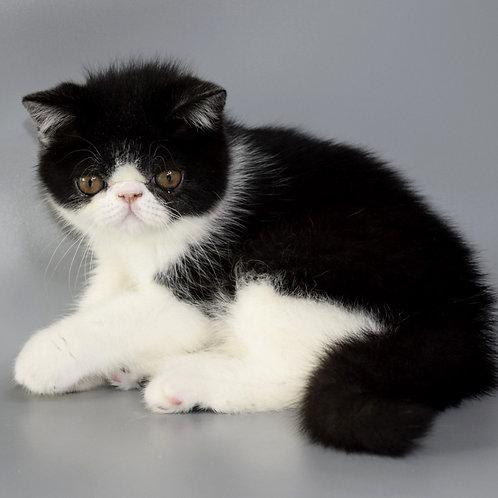 218 Indigo  Exotic  male kitten
