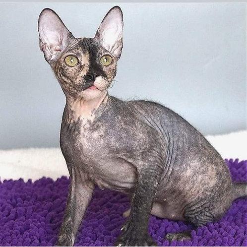 316 Mishel   female Sphinx Donskoy kitten