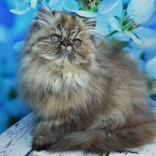 225 Lakomka Persian  female kitten
